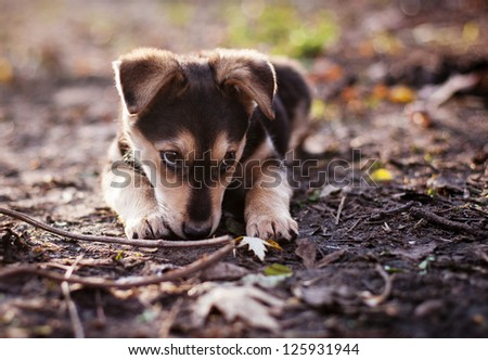 cute puppy lying in autumn park - stock photo