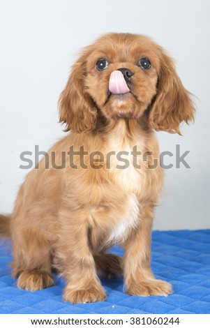 Cute puppy of cavalier king Charles spaniel sitting and licking his nose - stock photo