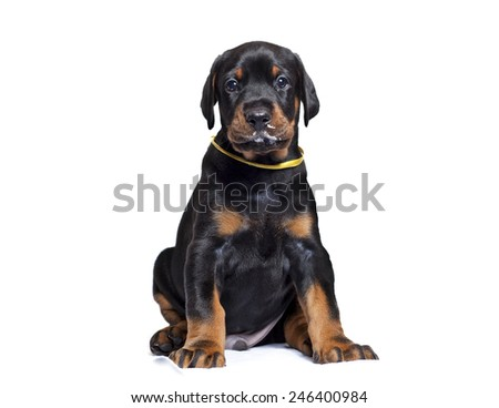 cute puppy of Doberman isolated on white - stock photo