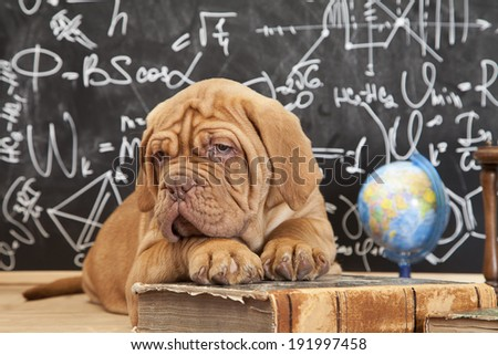 Cute puppy of Dogue de Bordeaux (French mastiff) lying in front of blackboard  - stock photo