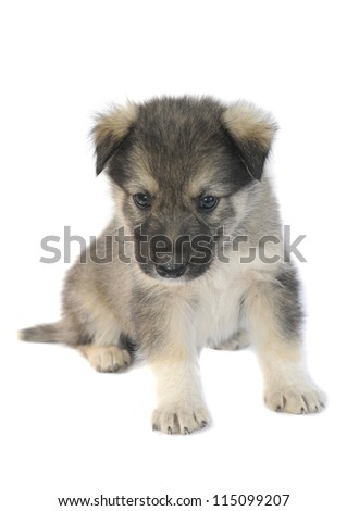 Cute puppy of 1,5 months old on a white background