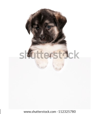 Cute puppy of 1,5 months old with empty board on a white background - stock photo