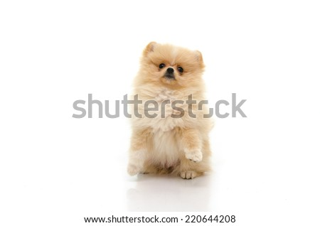 Cute puppy of pomeranian standing with two legs on white background isolated - stock photo