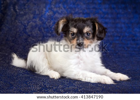 Cute puppy of the Continental Toy spaniel on a blue background - stock photo