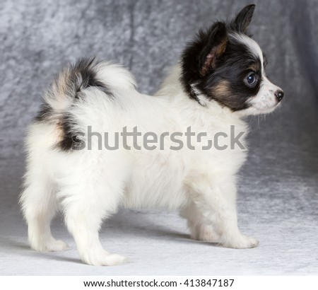 Cute puppy of the Continental Toy spaniel - Papillon - on a gray background