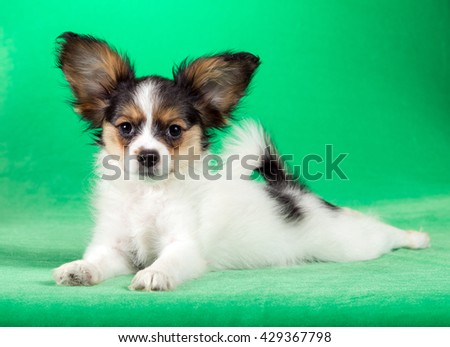 Cute puppy of the Continental Toy spaniel - Papillon - on a green background - stock photo