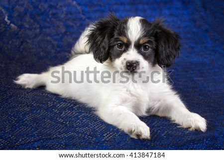 Cute puppy of the Continental Toy spanielo - Phalene -n a blue background - stock photo