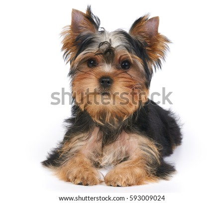 Cute puppy of the Yorkshire Terrier lies on white background. Isolated