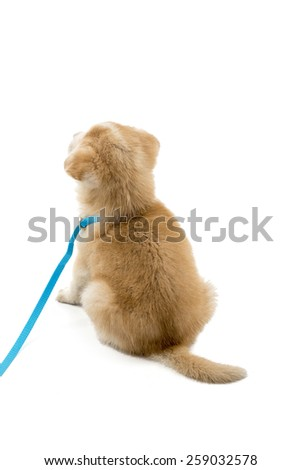 Cute puppy on a lead sitting down backwards against a white background - stock photo