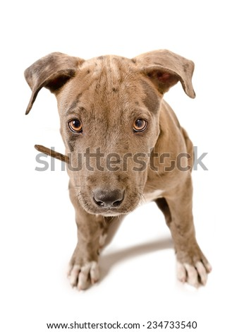 Cute puppy pit bull close-up view from above - stock photo