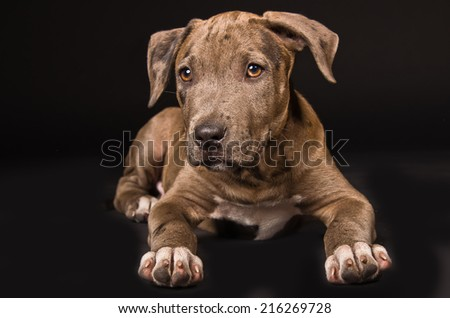 Cute puppy pitbull lying on a black background - stock photo