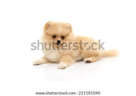 Cute puppy pomeranian playing on white background isolated - stock photo