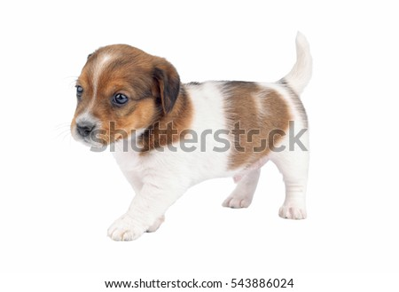 Cute puppy purebred jack russel terrier isolated on a white background