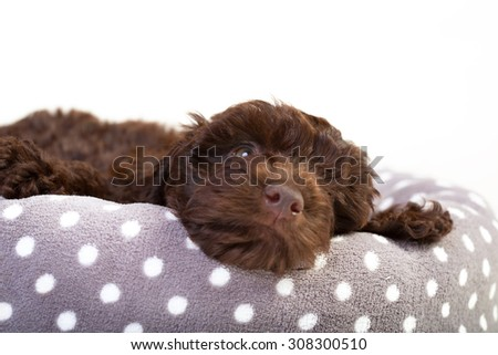 Cute puppy relaxing in her bed