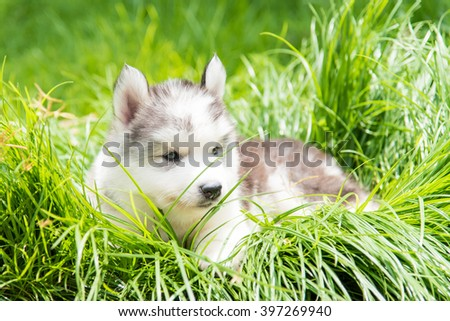 Cute puppy siberian husky sitting in the park.