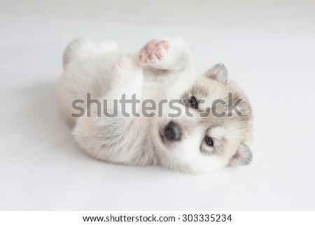 Cute Puppy Siberian husky sleeping on white background - stock photo