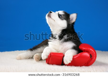 Cute Puppy Siberian Husky with boxing gloves - stock photo