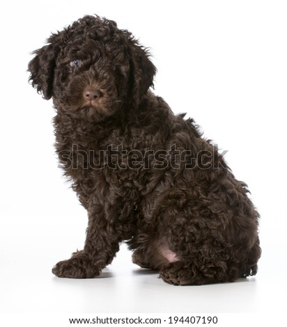 cute puppy sitting - barbet 7 weeks old - stock photo