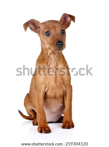 Cute puppy sitting on a white background - stock photo