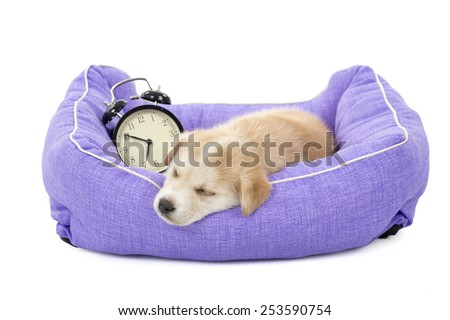 Cute puppy sleeping in his bed with an alarm clock against a white background - stock photo