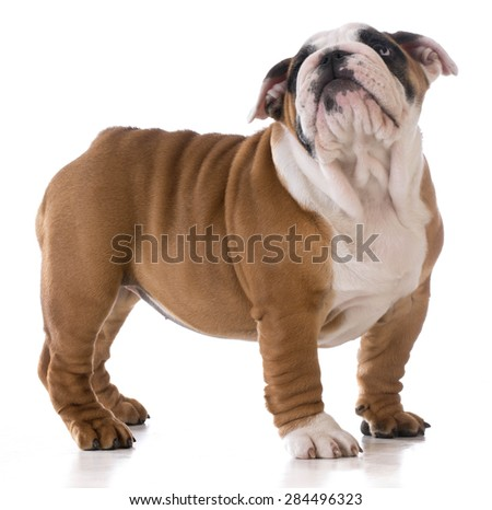 cute puppy standing looking up on white background - bulldog three months old