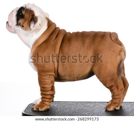 cute puppy standing on black mat - bulldog puppy three months old