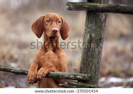 Cute Puppy Vizsla put his front paws on the wooden fence - stock photo