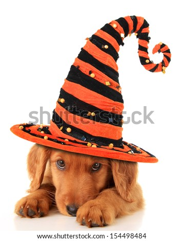 Cute puppy wearing a Halloween witch hat.  - stock photo