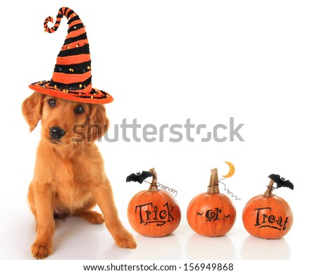 Cute puppy wearing a Halloween witch hat with pumpkins.  - stock photo