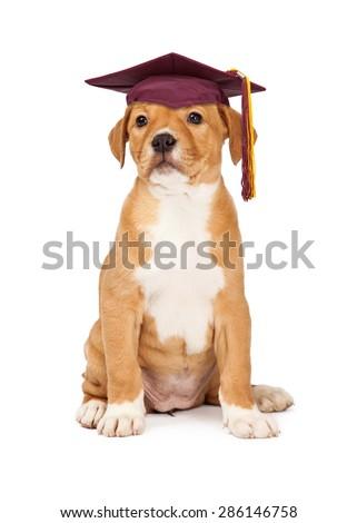 Cute puppy wearing school graduation cap - stock photo