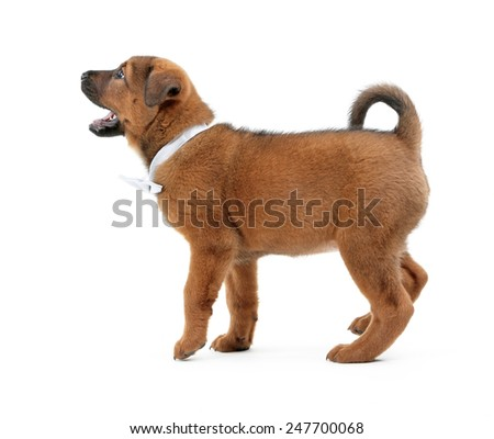 Cute puppy with bow-tie isolated on white - stock photo