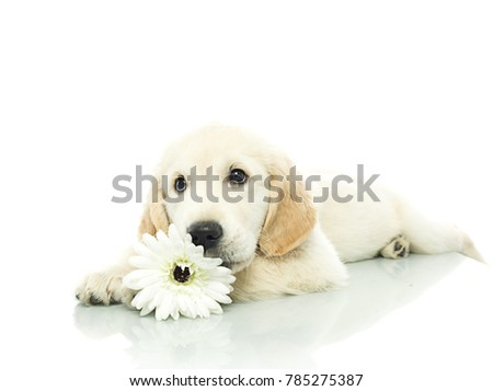 cute puppy with flower isolated on white studio shot looking at camera retriever lying