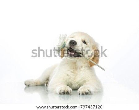 cute puppy with spring flower in mouth isolated on white studio shot looking at camera retriever love