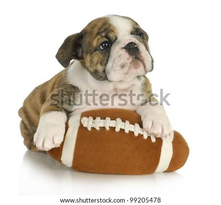 cute puppy with stuffed football - english bulldog 8 weeks old - stock photo