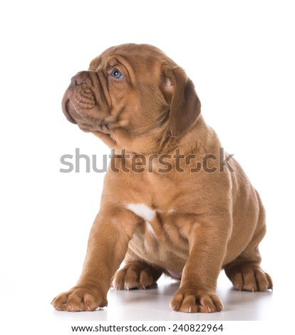 cute puppy - young puppy looking off to the side isolated on white background - stock photo