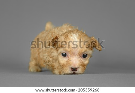 Cute pure breed bichon havenese puppy poses in a gray background - stock photo