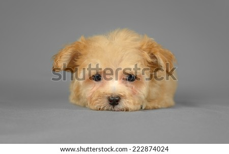 Cute pure breed bichon havenese puppy poses in a gray background