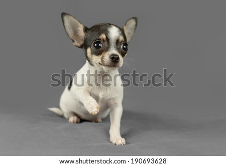 Cute pure breed chihuahua puppy poses in a gray background - stock photo
