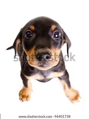 Cute purebred black-and-tan German Pinscher puppy, eight weeks old, looking straight at the camera. - stock photo