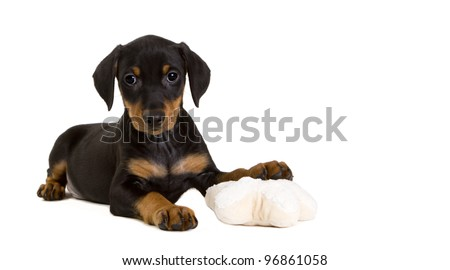 Cute purebred black-and-tan German Pinscher puppy, eight weeks old, resting his left front paw on a toy, looking straight at the camera.