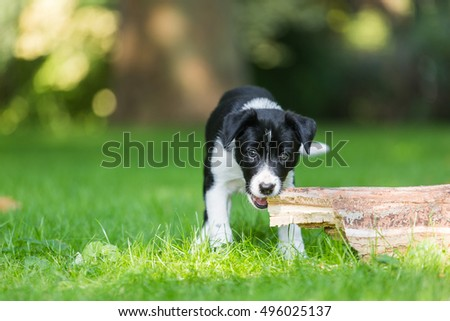 Cute purebred Border Collie puppy outdoors playing and training. Agility dog playing in the fresh green grass, lawn. Beautiful bokeh background.