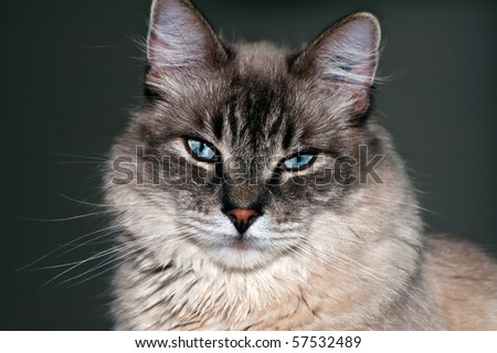 Cute purebred cat portrait in studio