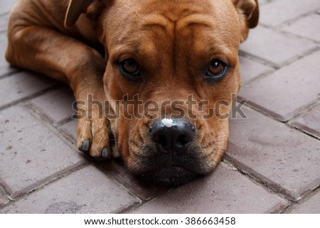 Cute purebred dog muzzle with pieces of food on the nose - stock photo