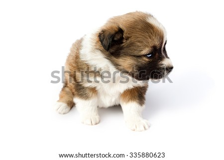 Cute purebred puppy (dog)  isolated on a white background
