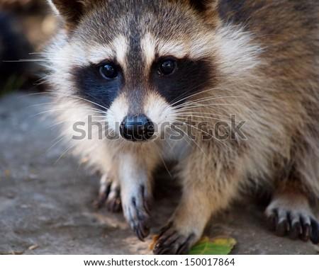 Cute Raccoon - stock photo