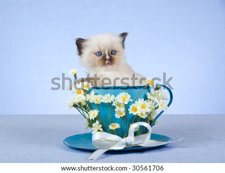 Cute Ragdoll kitten sitting in large cup decorated with daisies flowers and bow - stock photo