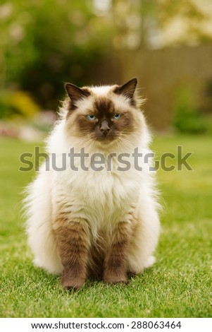 Cute Ragdoll kitty cat with blue eyes sitting straight on grass in a garden, facing and looking to the camera - stock photo