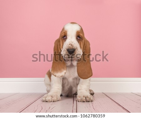 Cute Red White Basset Hound Puppy Stock Photo (Royalty Free ...