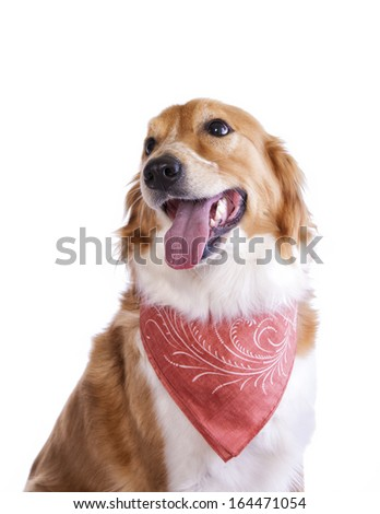 Cute red and white border collie dog looking up to the side wearing scarf isolated on white - stock photo