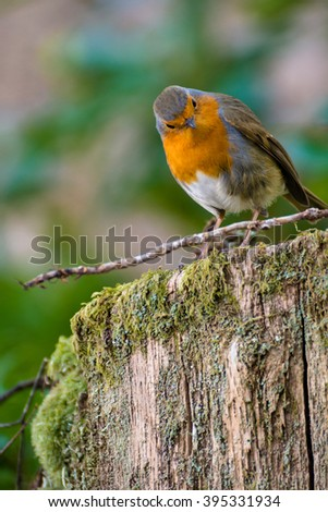 Cute Red Breasted Robin bird on a tree stump in the forest. - stock photo